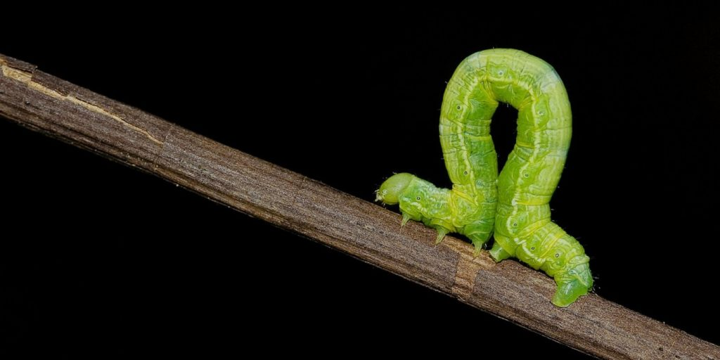 inchworm picture
